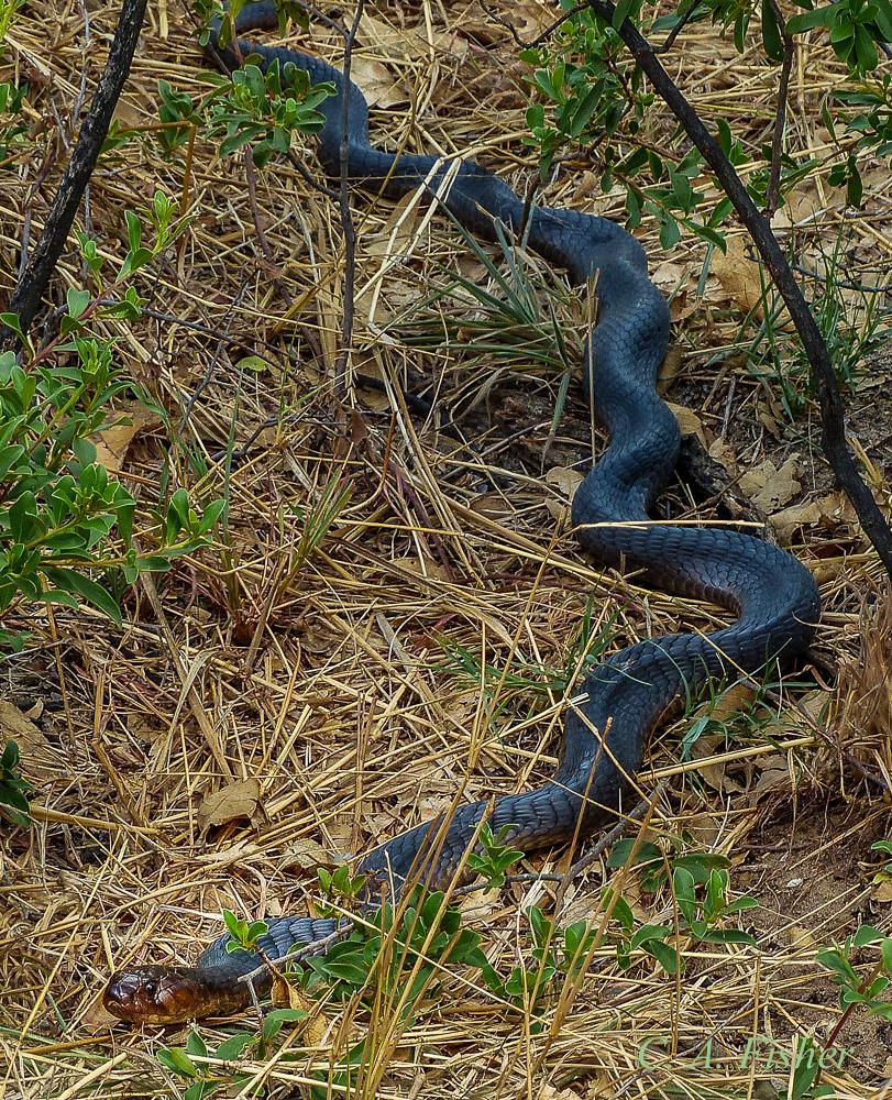 Black Spitting Cobra?