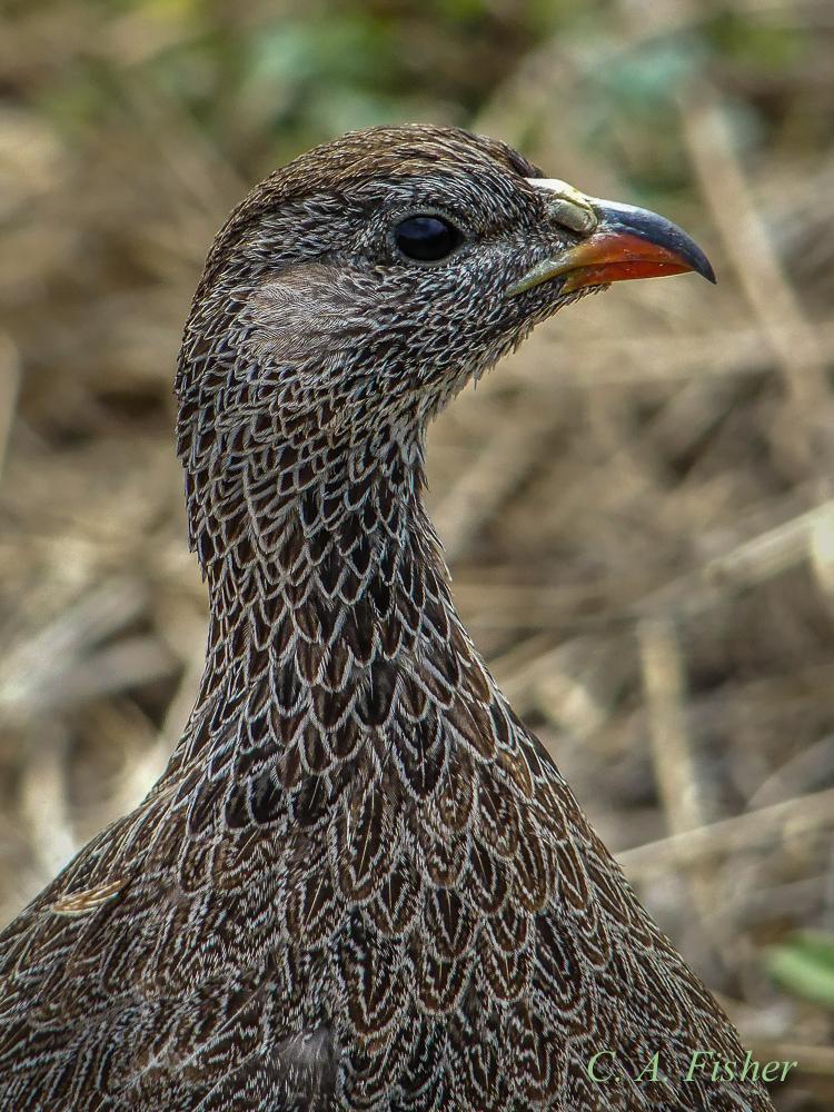 Cape Spurfowl