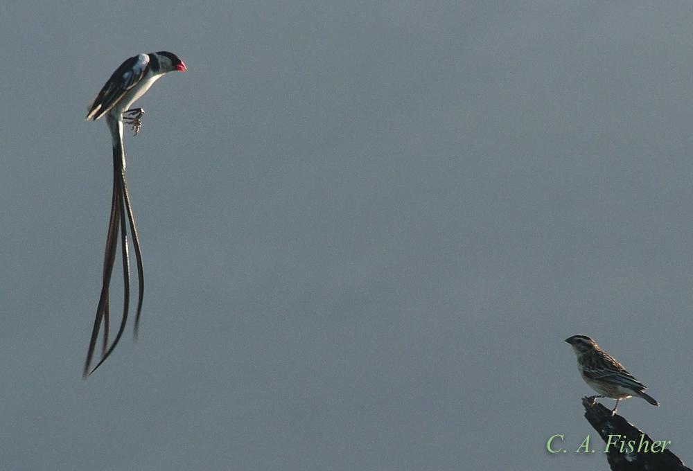 Pin-tailed Whydah Hovering
