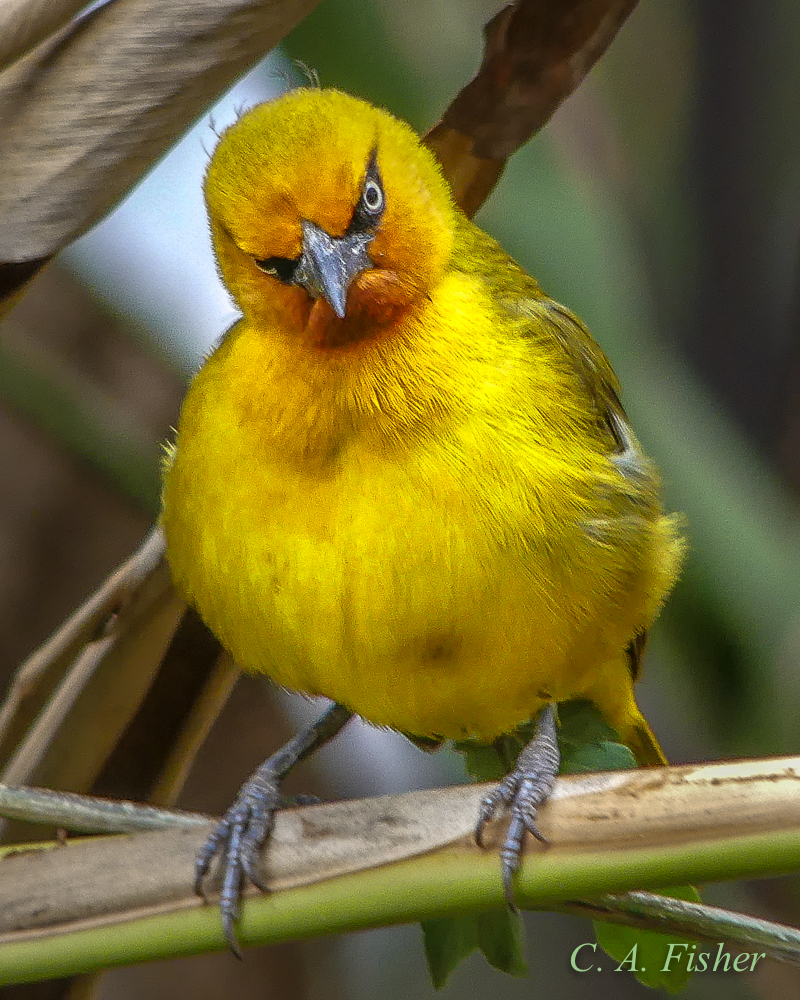 Spectacled Weaver Staring