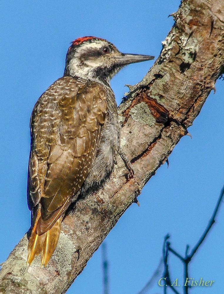 Bearded Woodpecker, Male