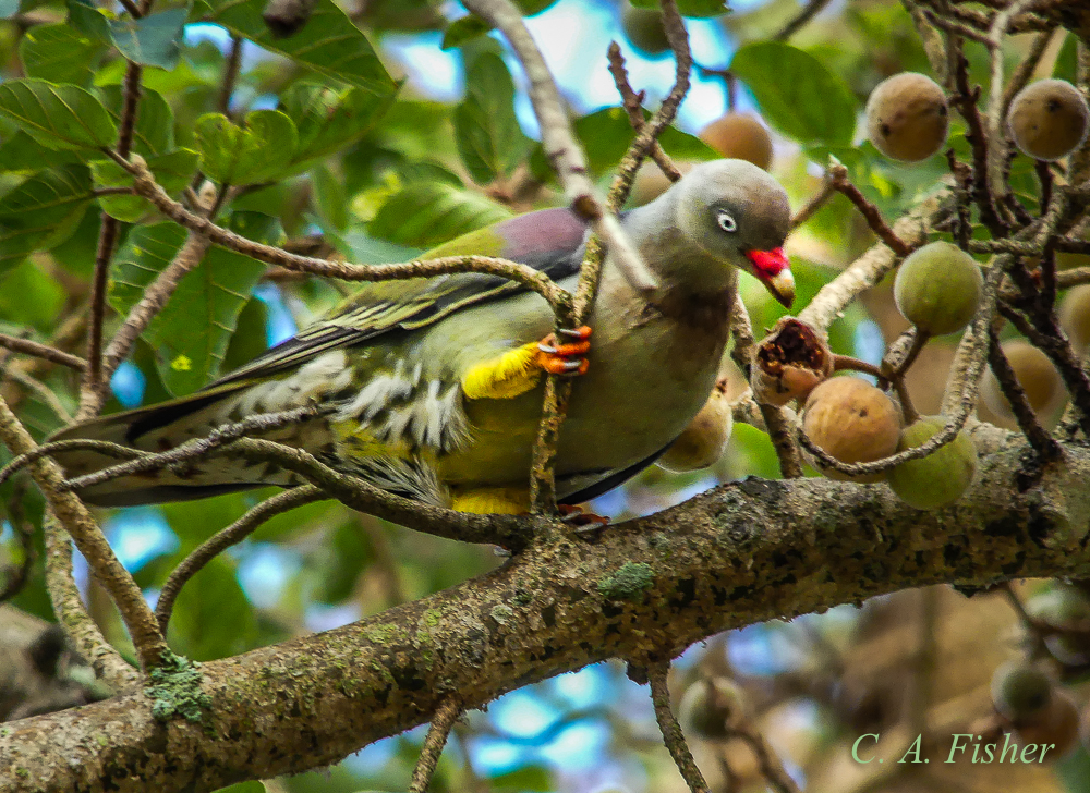 African Green Pigeon Eating Figs