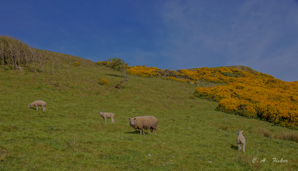 Sheep and Yellow Gorse