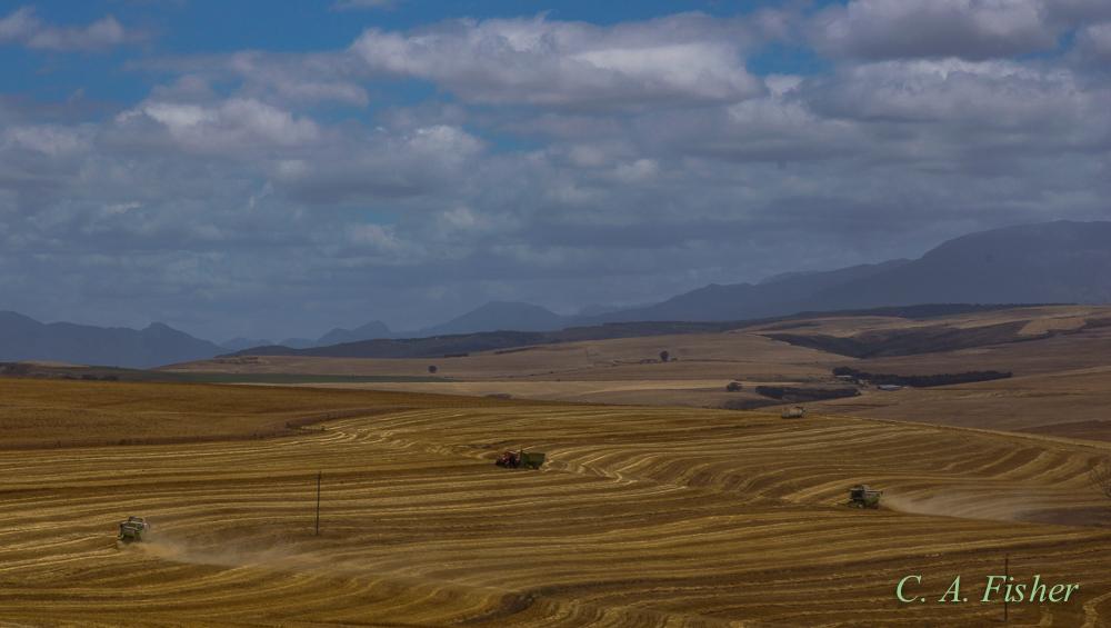 Wheat Fields Near Agulhas