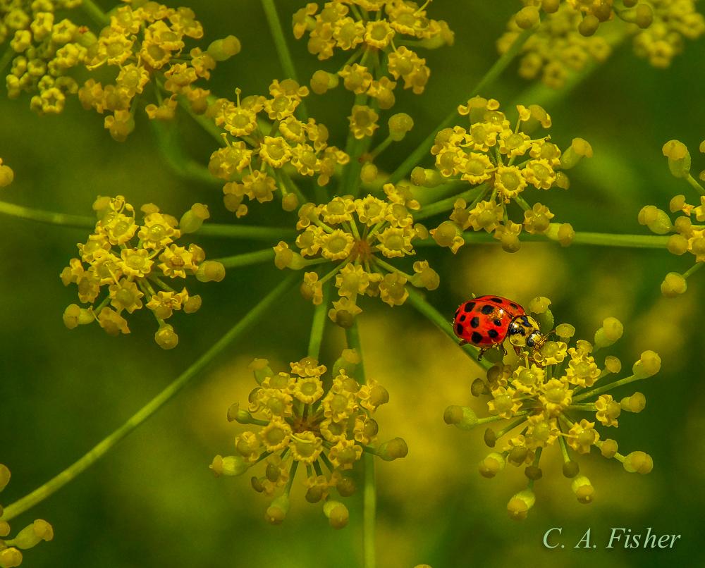 Ladybug on Wild Parsnip