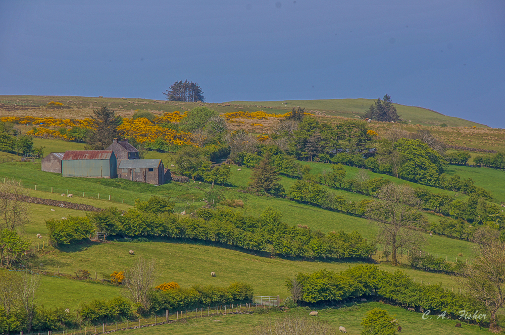 Farm Fields with Yellow Gorse