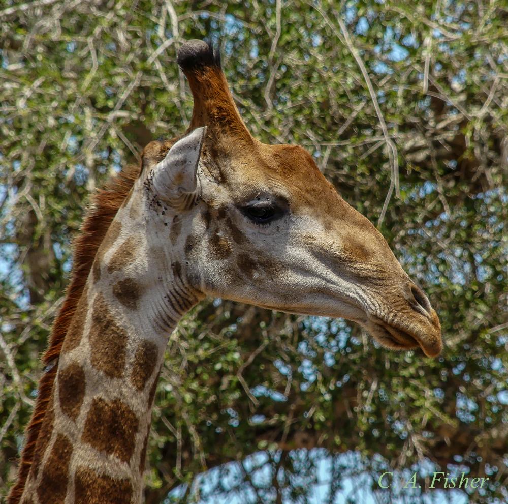 Giraffe Meditating