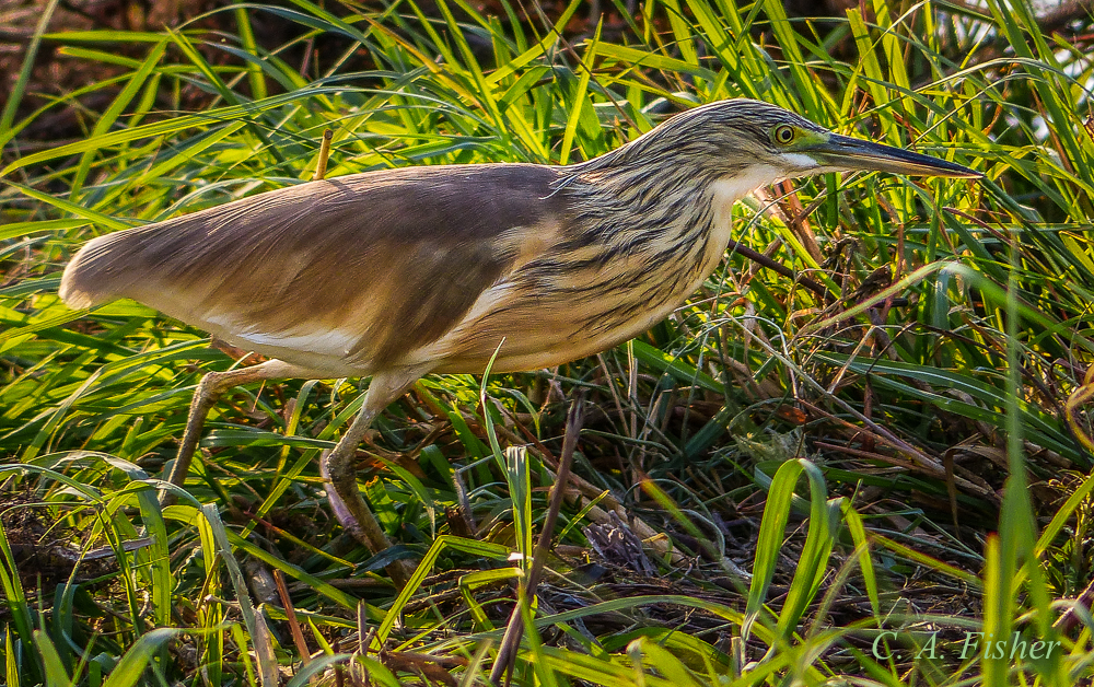 Squaco Heron