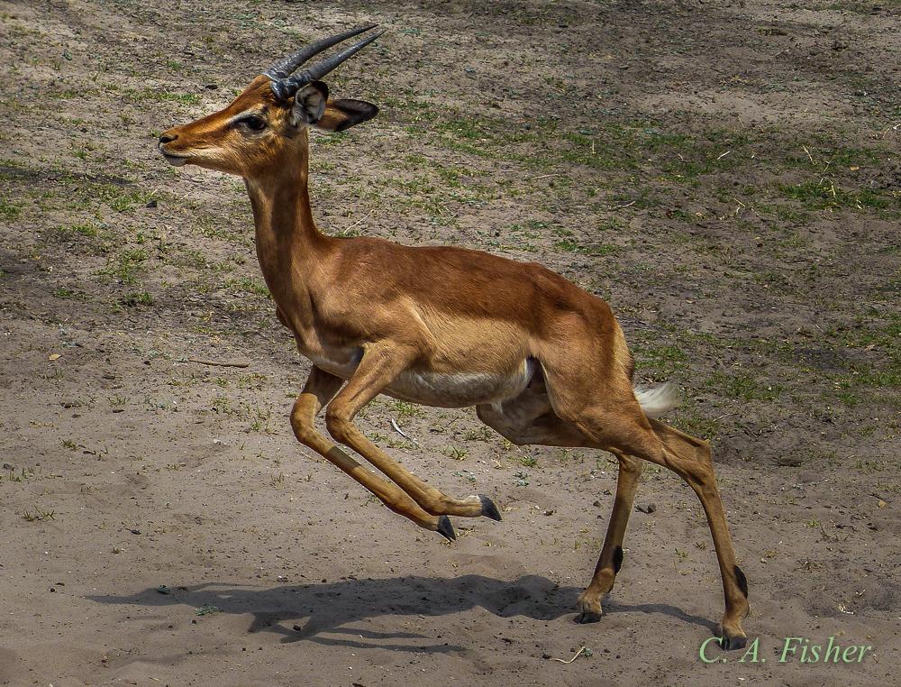 Impala Antelope Running
