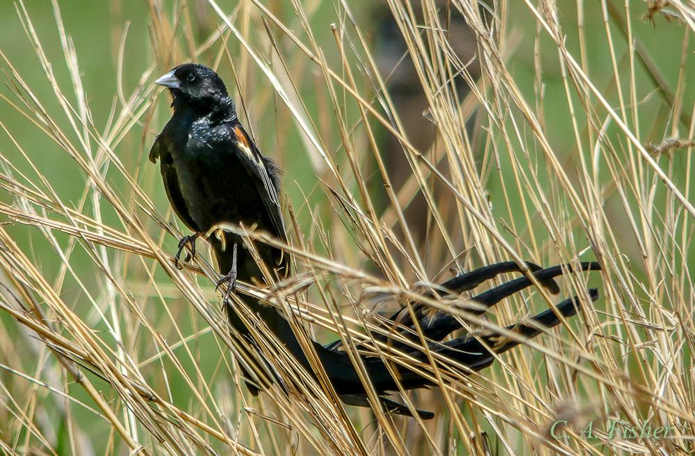 Long-tailed Widowbird, Male