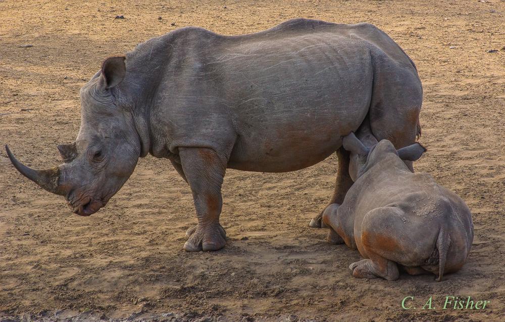 White Rhinoceros Nursing