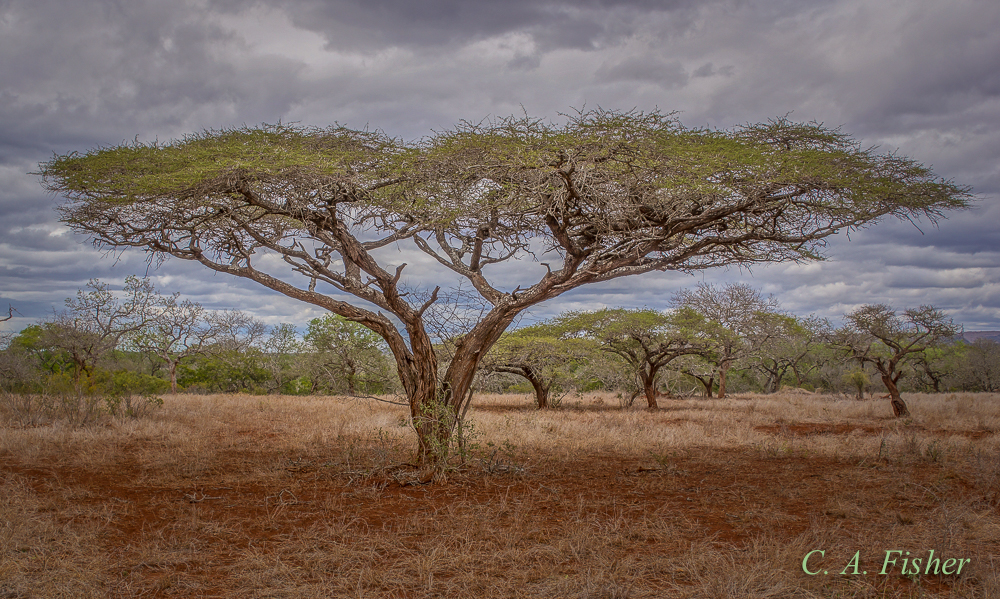 Spreading Acacia Tree