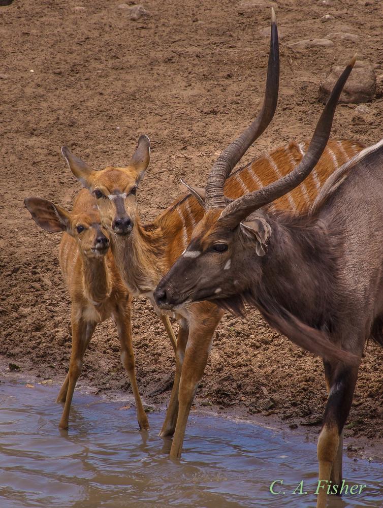 Nyala Antelope Family Portrait