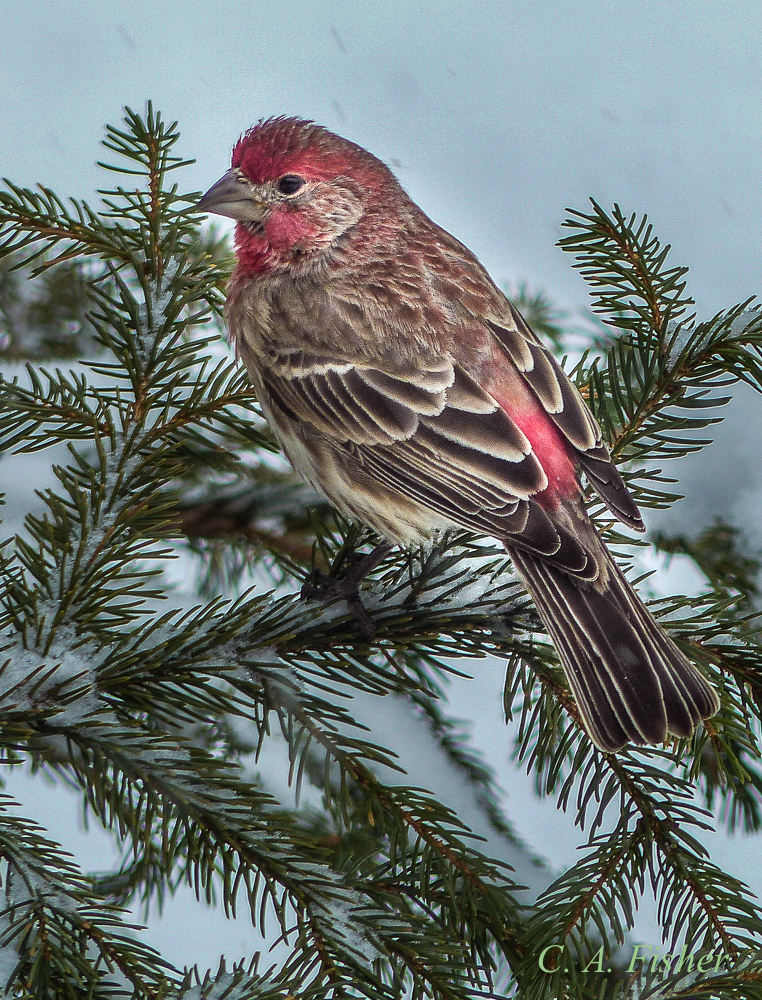 House Finch in Spruce Tree