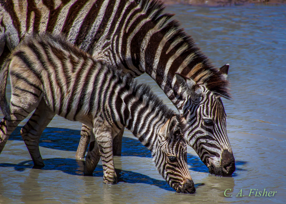 Zebra Father and Son