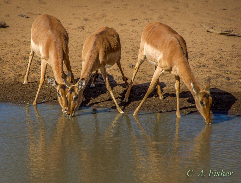 Impala Antelope Drinking