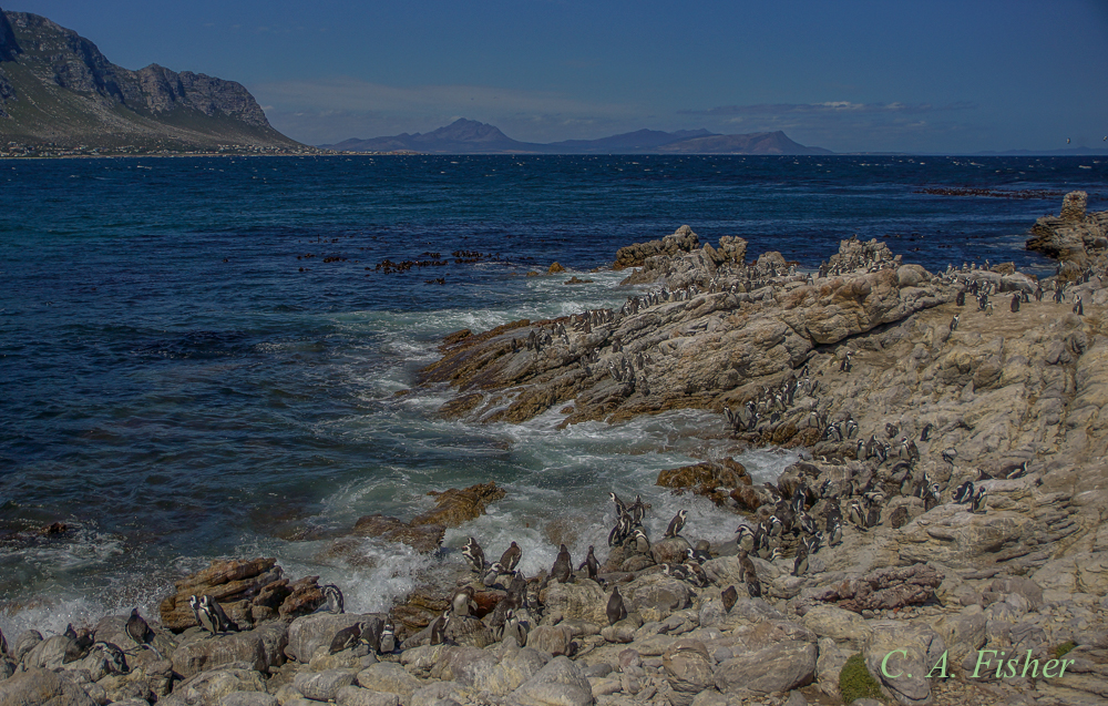 Betty's Bay African Penguin Colony