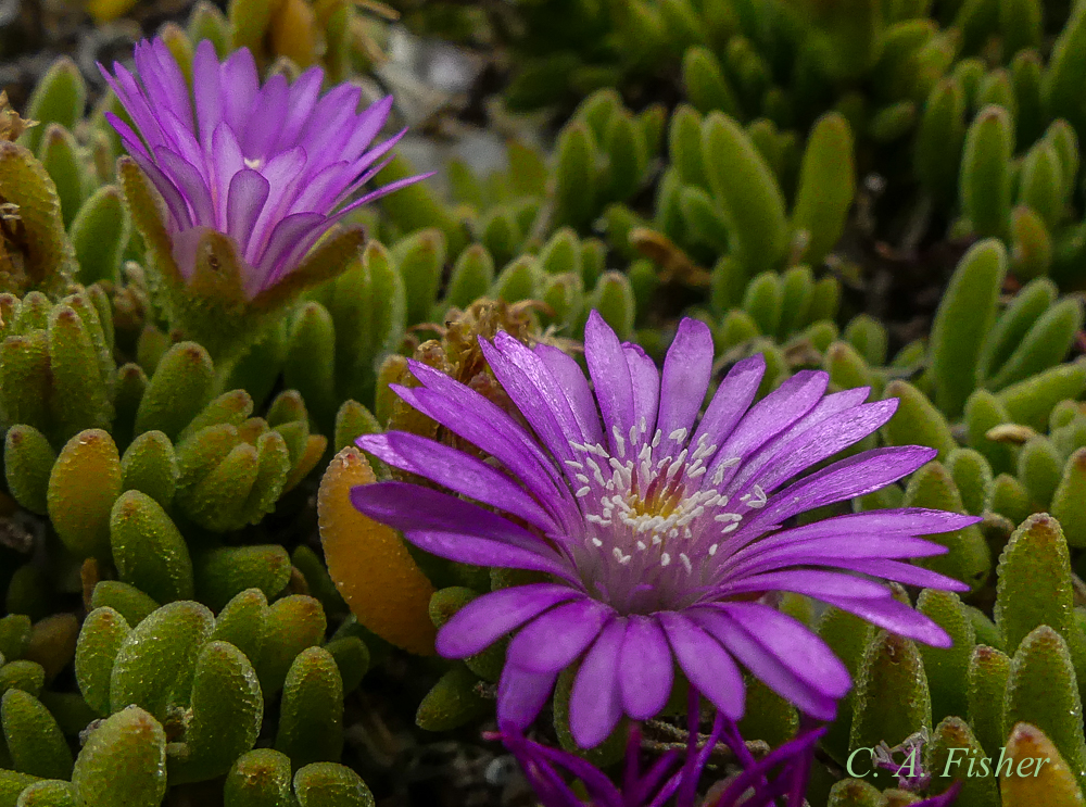Unknown Iceplant? Closeup