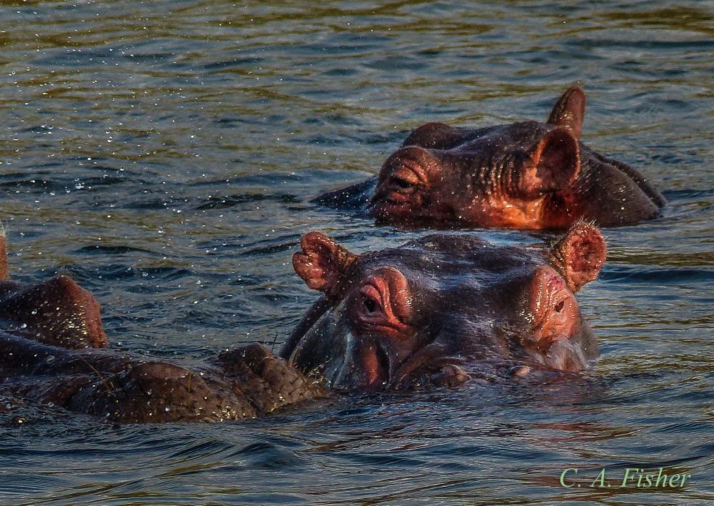 Hippopotamus Stare