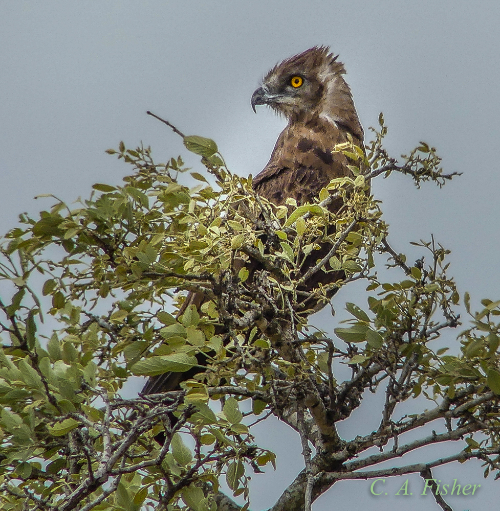 Brown Snake Eagle Posing