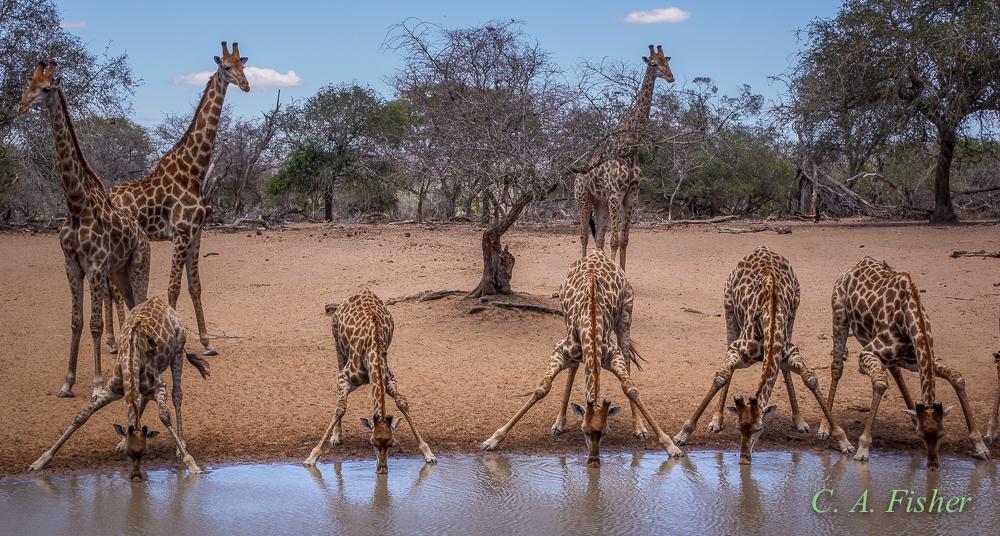 Five Drinking Giraffes