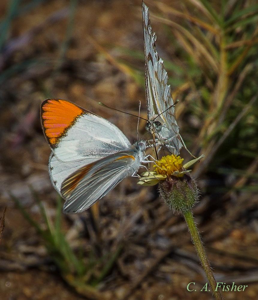 Unknown Pair of Butterflies