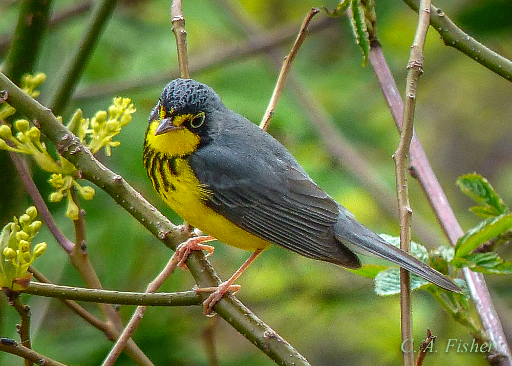 Canada Warbler on Branch