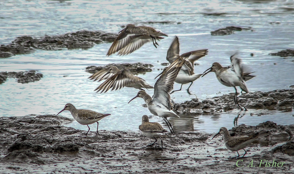 Flock of Stilt Sandpipers