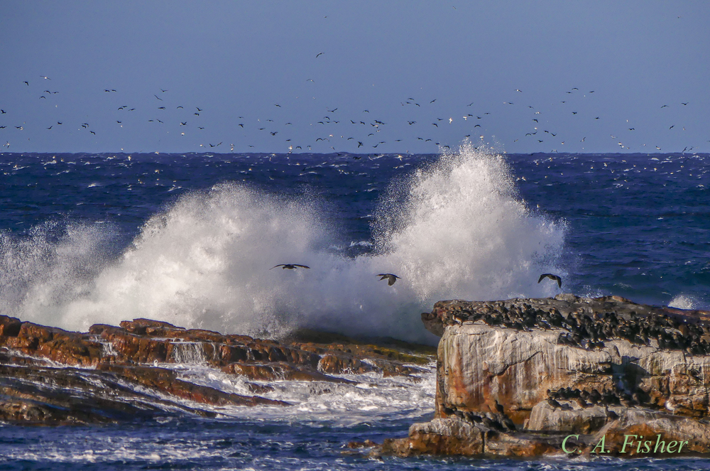 Breaking Waves and Cape Cormorants