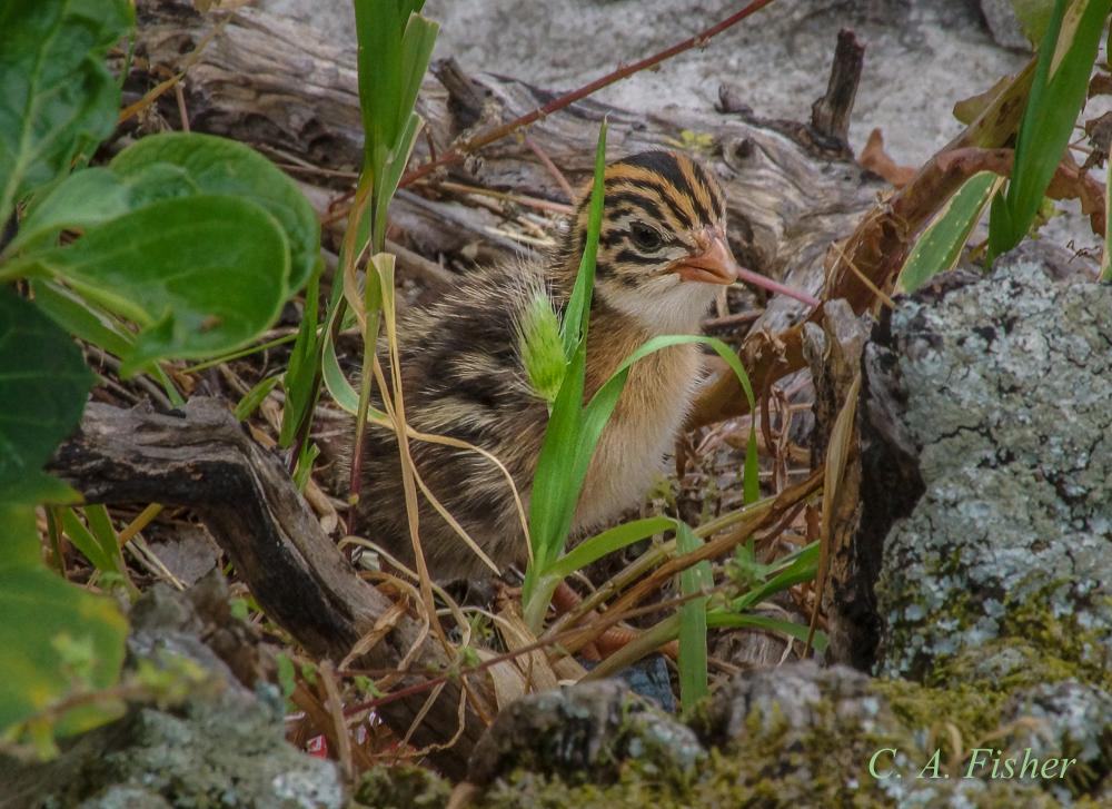 Cape-Spurfowl Chick