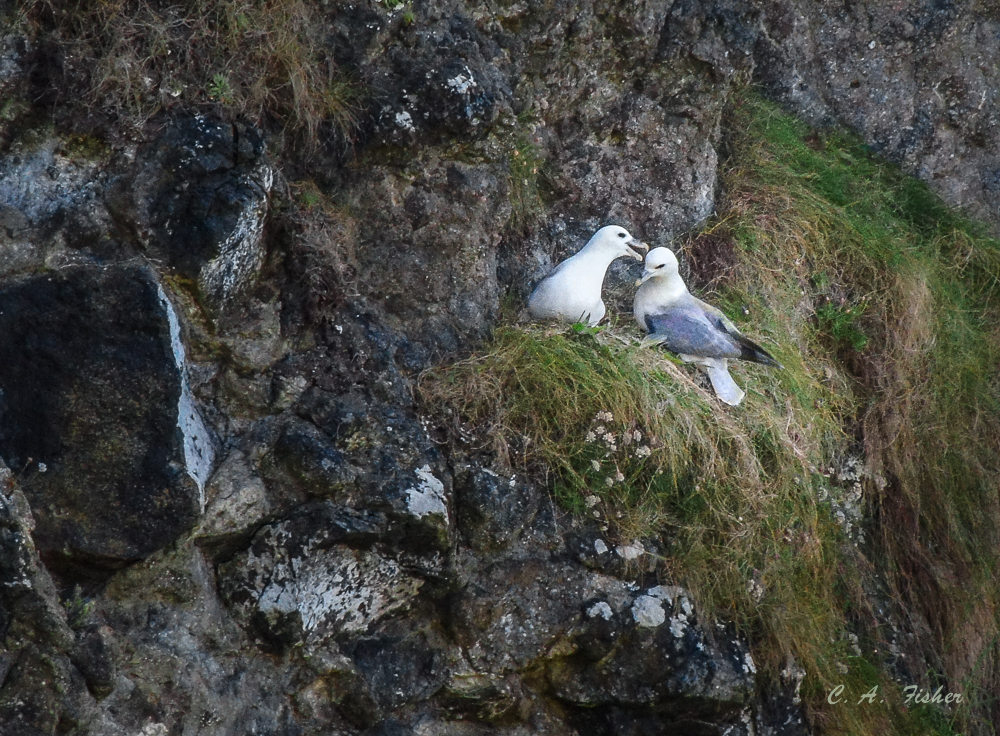 Fulmar Pair at Dunluce Castle