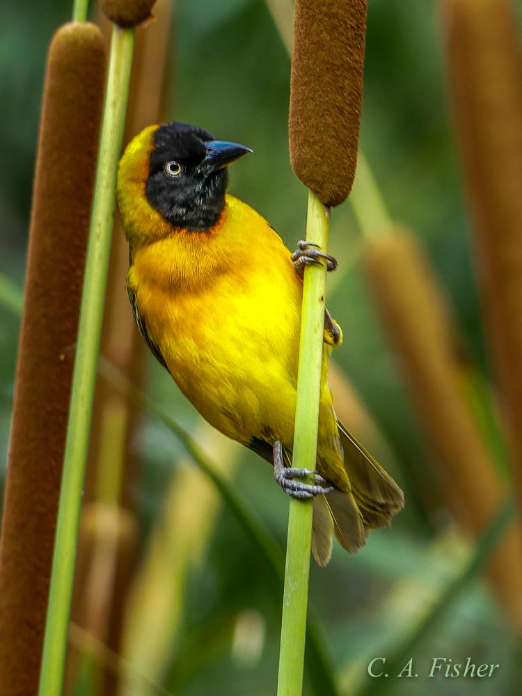 Lesser Masked Weaver, Male