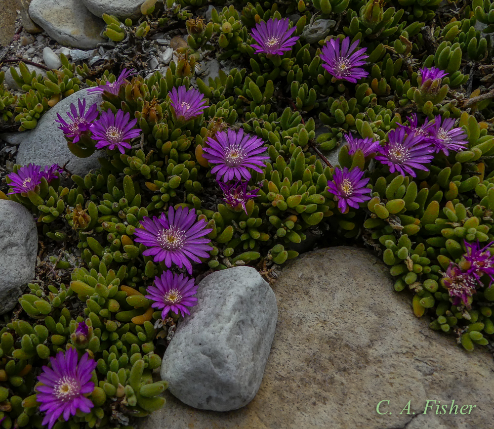 Unknown Iceplant?