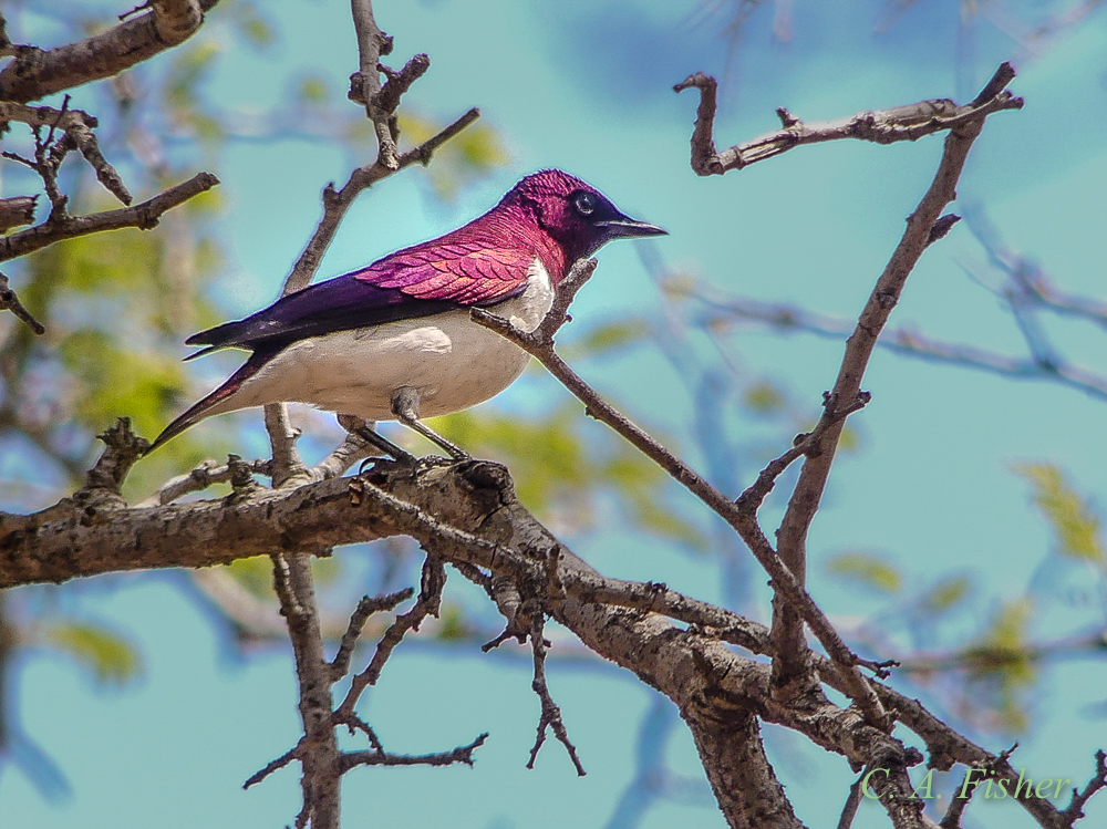 Violet-backed Starling, Male