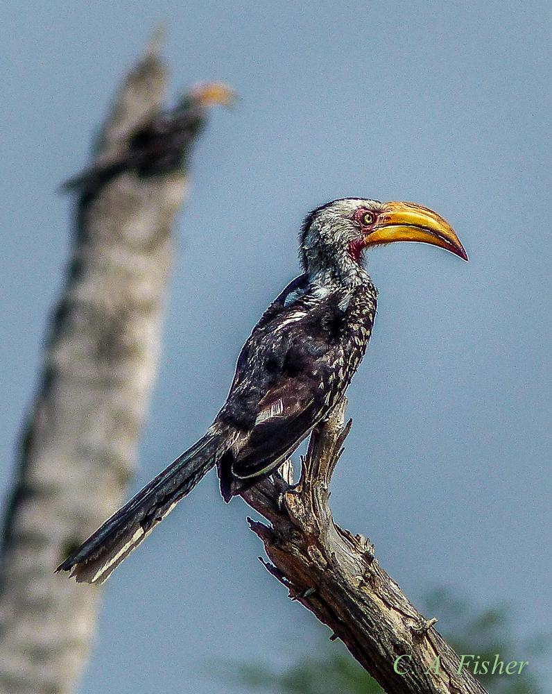 Southern Yellow Hornbill