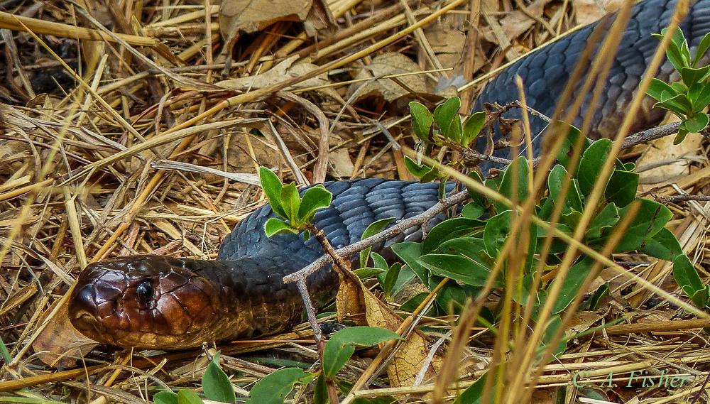 Black Spitting Cobra? Closeup