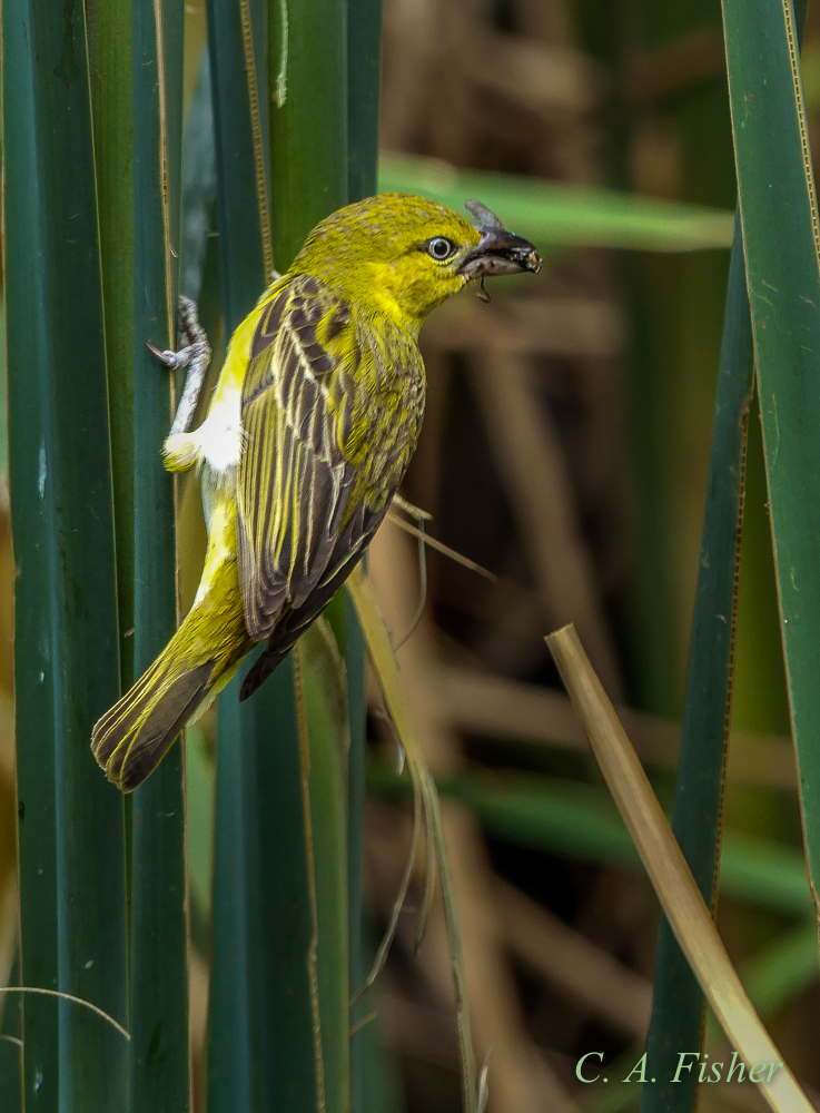 Lesser Masked Weaver, Female