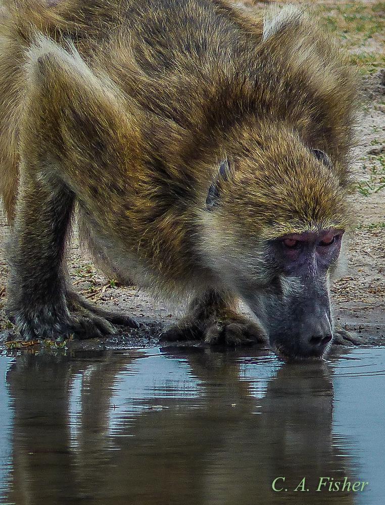 Chacma Baboon Drinking