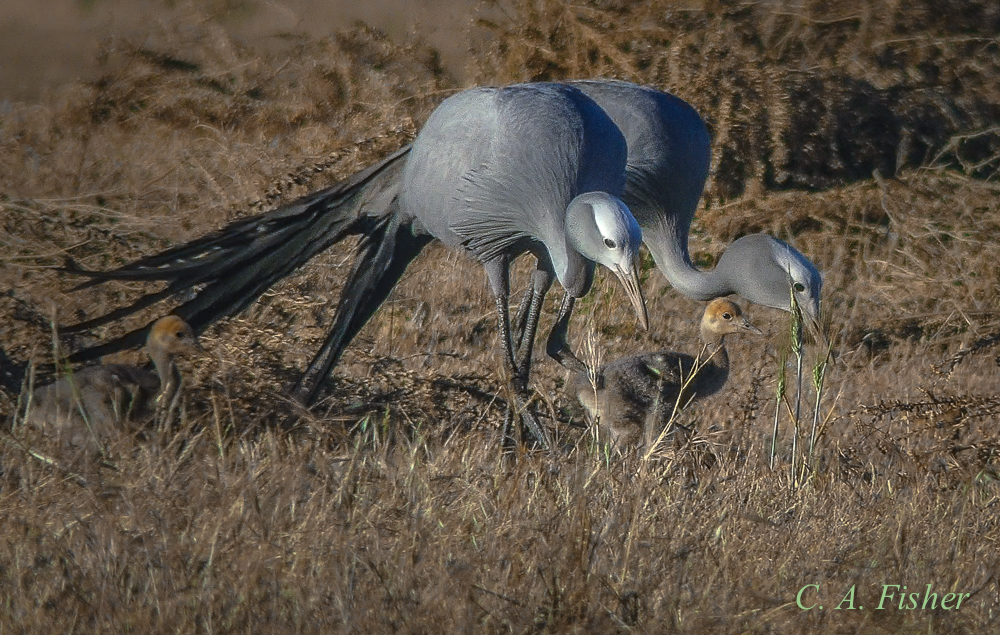 Blue Cranes with Chicks