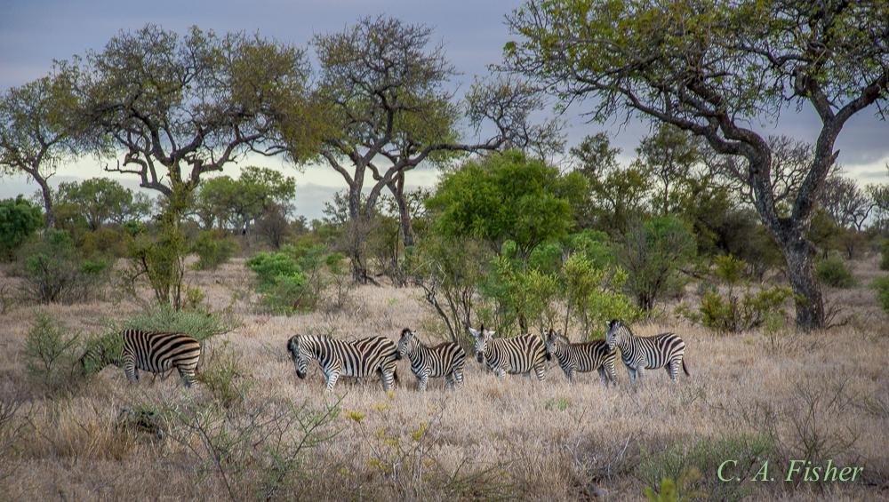 Herd of Zebra in the Bush