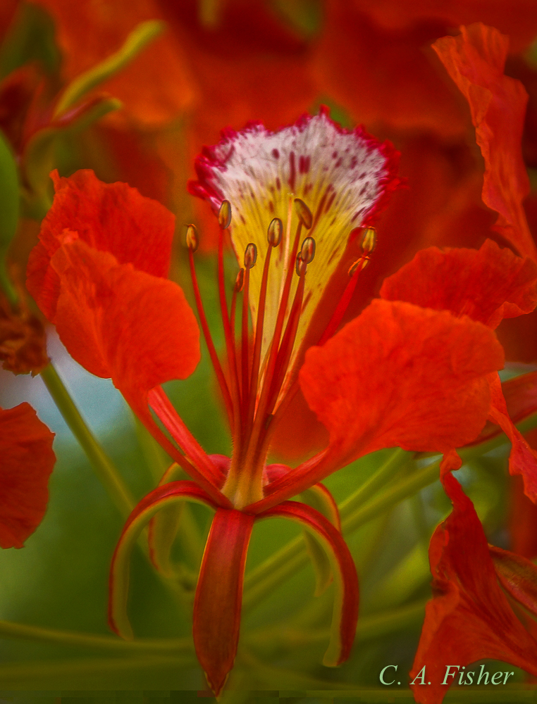 Flame Tree Flower Closeup