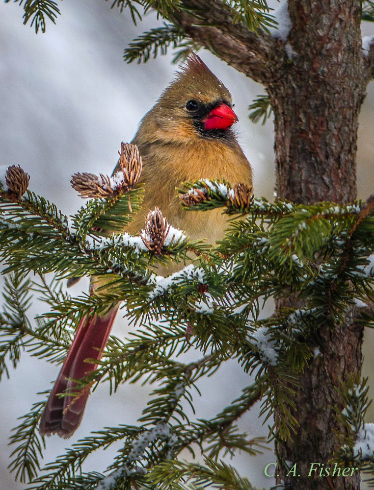 Female Cardinal in Spruce Tree