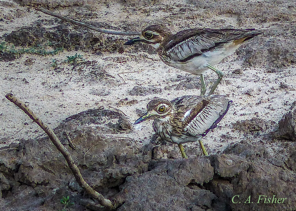 Water Thick-knee Pair