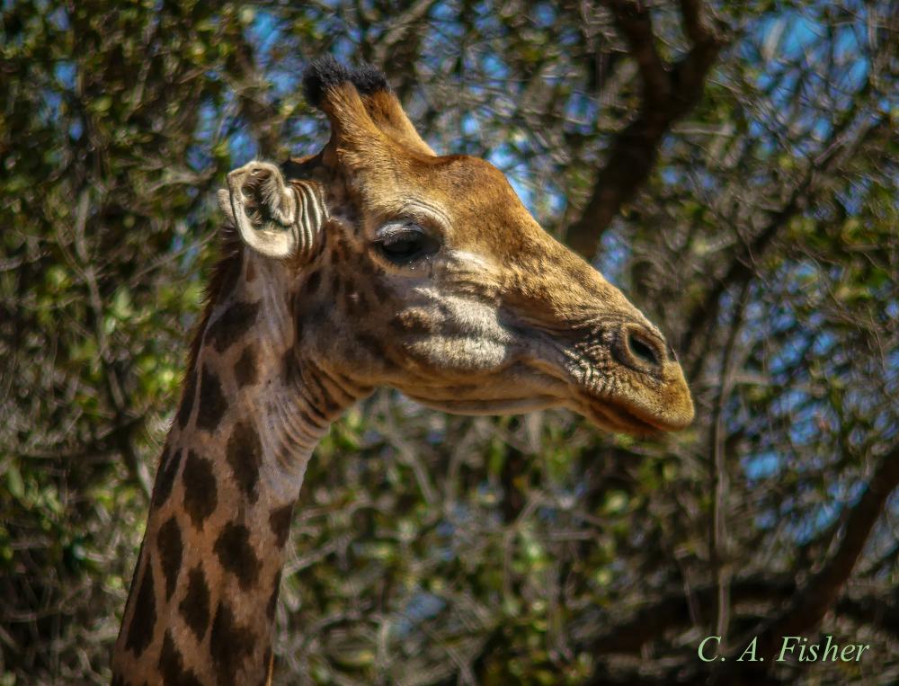 Giraffe Thinking