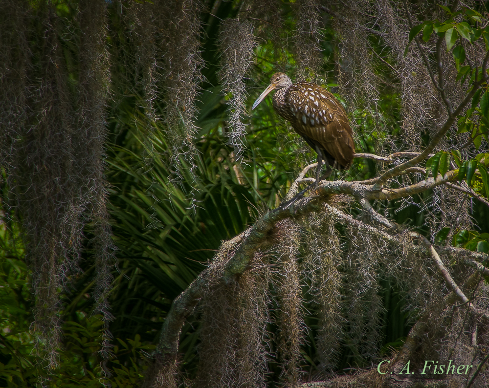Limpkin in Tree