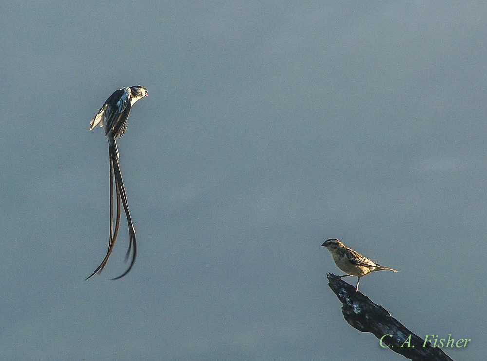 Pin-tailed Whydah Displaying