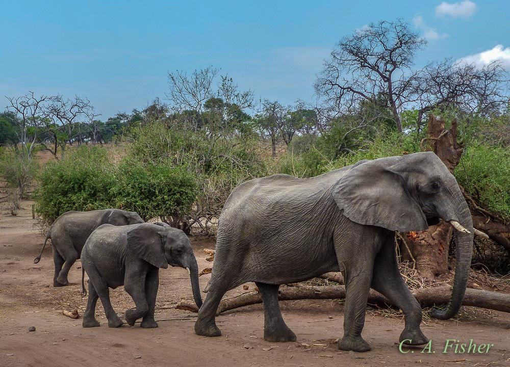 Elephant Family Walking