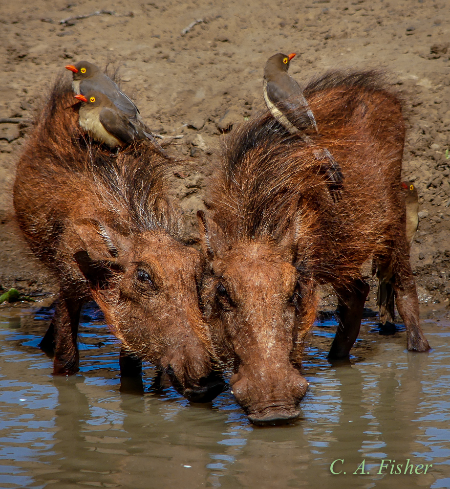 Baby Warthogs and Oxpeckers