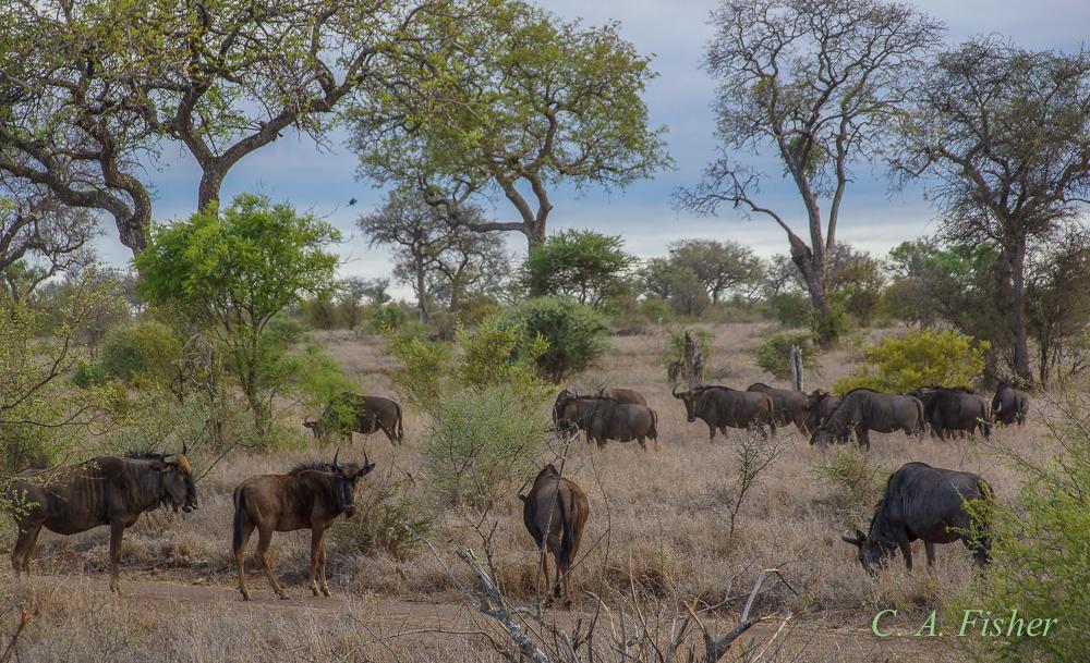 Grazing Wildebeests