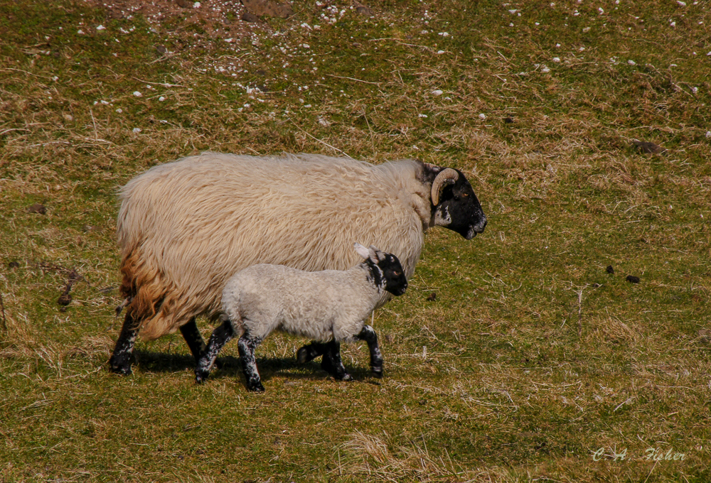 Black-faced Sheep by the Road